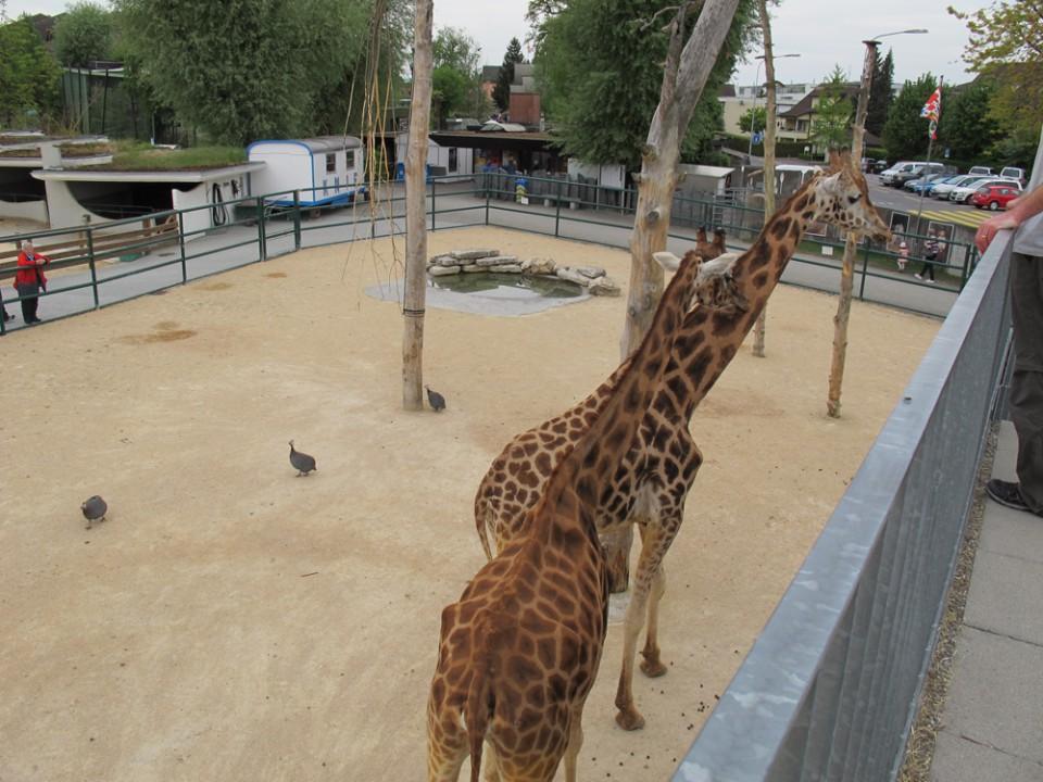 Giraffen von oben