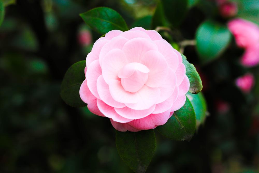 Kamellienaustellung rosa